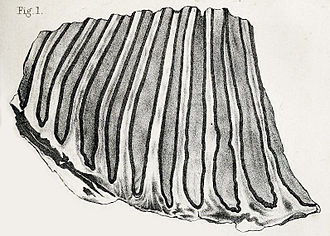 Columbian mammoth - 1863 lithograph of the partial holotype molar (specimen BMNH 40769) from Georgia