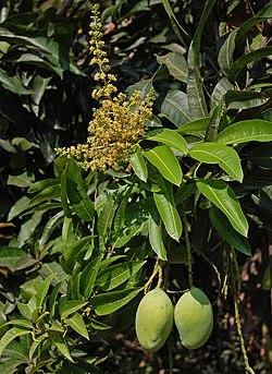 Mango indyjskie