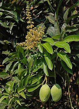 engrais fruitiers