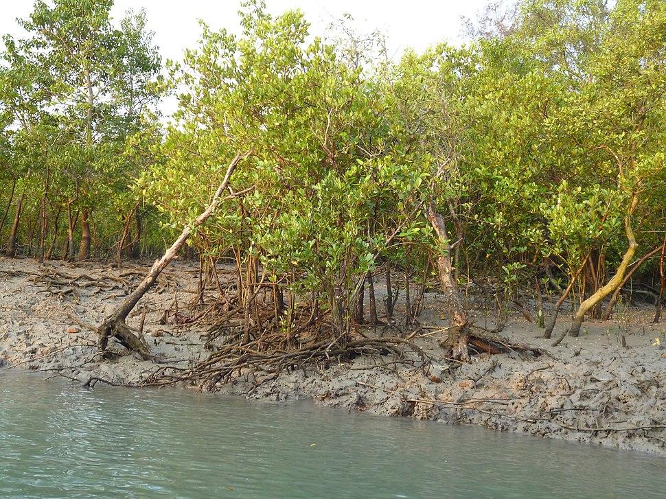 Mangrove forest,sundarban
