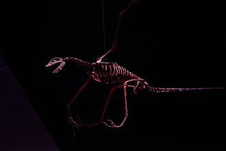 Rahonavis - Restored skeleton