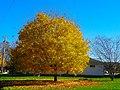 Maple Tree - panoramio.jpg