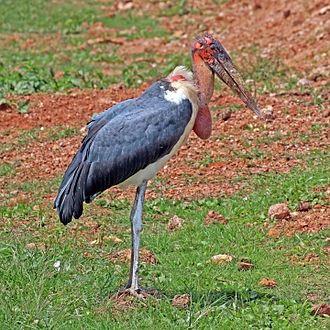Marabou stork - Uganda