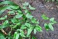 Maranta ruiziana (Marantaceae) (30273001256).jpg