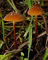 Marasmius plicatulus Peck 696355.jpg