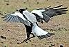 Maria Island Magpie.jpg