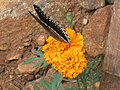 Marigold and butterfly.jpg