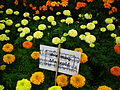 Marigold at Lalbagh Flower show August 20124533.JPG