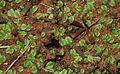 Marsilea prothallus.jpg