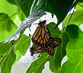 Mating Monarch Butterfly NBG LR.jpg