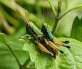 Mating grasshoppers at Mangunan Orchard, Dlingo, Bantul, Yogyakarta 01.jpg