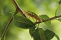 Mating pair of Stick Insect (Timema sp.) (8711995901).jpg