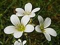 Meadow Saxifrage (Saxifraga granulata) (8888089064).jpg