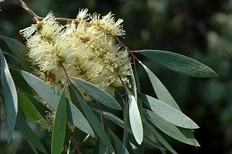 Melaleuca cajuputi - M. cajuputi flowers and leaves