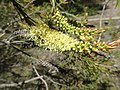 Melaleuca sieberi flowers.jpg