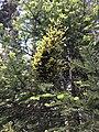 Melampsorella caryophyllacearum Italy2.jpg