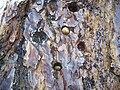 Melanerpes formicivorus-Acorn Storage-3.jpg