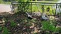 Melanistic Pekin Duck 2.jpg
