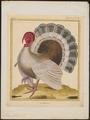 Meleagris gallopavo - 1700-1880 - Print - Iconographia Zoologica - Special Collections University of Amsterdam - UBA01 IZ16900304.tif