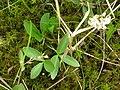 Menyanthes trifoliata 1-eheep (5097325315).jpg