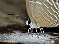 Metallic Caerulean (Jamides alecto ageladas) on bird dropping, head close-up (15310315549).jpg