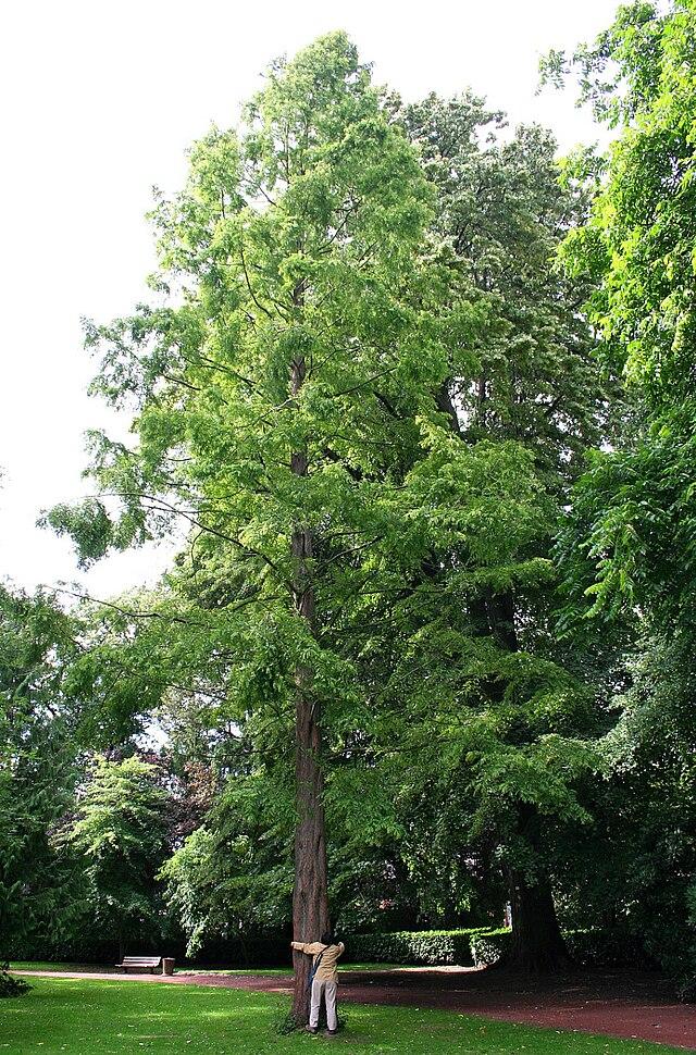 640px-Metasequoia_glyptostroboibes_%28Mariemont%29_JPG1a.jpg