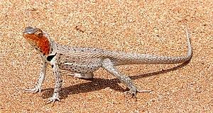Microlophus - Microlophus albemarlensis, female, a Galápagos endemic