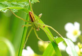 Osemočko smaragdové (Micrommata virescens) - samček