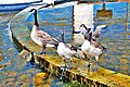 Migrant geese refreshing in water next to the Canadian Civilisation Museum - panoramio.jpg