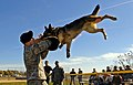 Military dog handler demonstrates attack dog.jpg