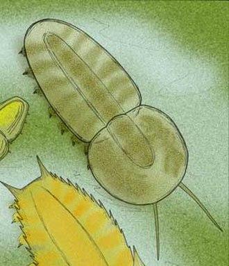 Misszhouia - Image: Misszhouia longicaudata