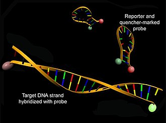 Molecular beacon - Structure of molecular beacons in their native conformations (top) or hybridized with a DNA strand (bottom)