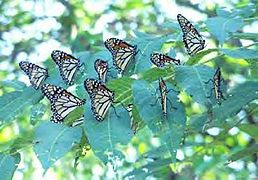 Monarch butterflies.jpg