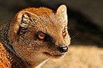 Mongoose - Newquay Zoo (14951991544).jpg