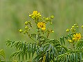 Monkey Pod (Senna petersiana) (12909188035).jpg