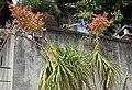 Monte (Funchal) - Beaucarnea recurvata (Elefantenfuß) IMG 2021.JPG