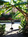 Morocco Marrakesh banana tree 4.JPG