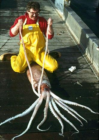 Deep-sea gigantism - Image: Moroteuthis robusta bronco