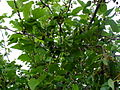 Morus nigra, fruit, Most.JPG