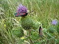 Moths on Thistle - panoramio.jpg