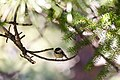 Mountain chickadee (48408023911).jpg