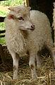 Mouton d'Ouessant 180508 3.jpg
