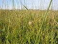 Muhlenbergia asperifolia (3918876797).jpg