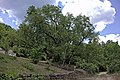 Mulberry tree near Gostivisht 1.jpg