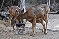 Mule Deer (Odocoileus hemionus) (11).jpg