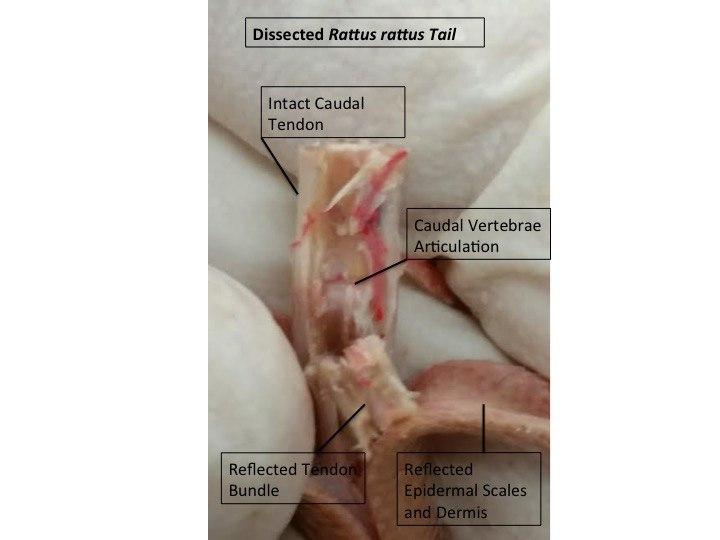 Murid Tail Dissection (Lateral View)
