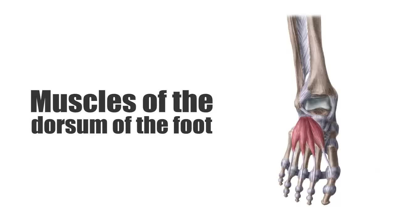 Filemuscles Of The Dorsum Of The Foot Preview Human Anatomy