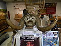Musk ox horns - Ulster Museum.JPG