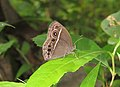 Mycalesis mineus – Dark-branded Bushbrown 02.jpg
