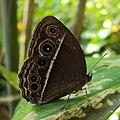 Mycalesis mineus - Dark-branded Bushbrown 03.JPG